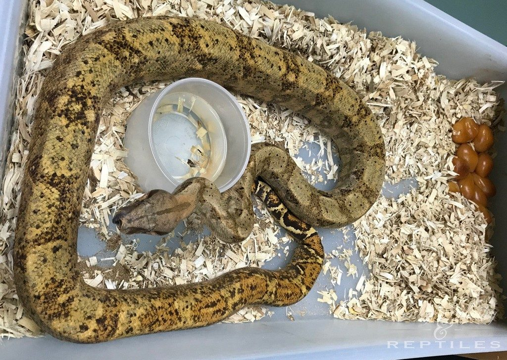 2018 Litter #2 - Boa Constrictor Imperator