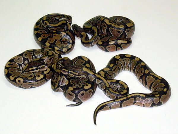 The first clutch of snakes to hatch at our facility. 2.3 Het. Hypomelanistics.