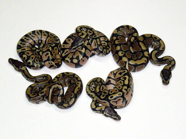 Our first Pastel clutch, dad was also poss. Het. Genetic Stripe.