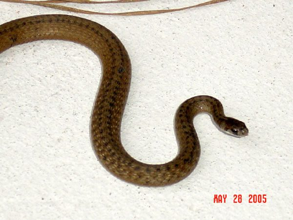 A close-up of the Marsh Brown Snake.
