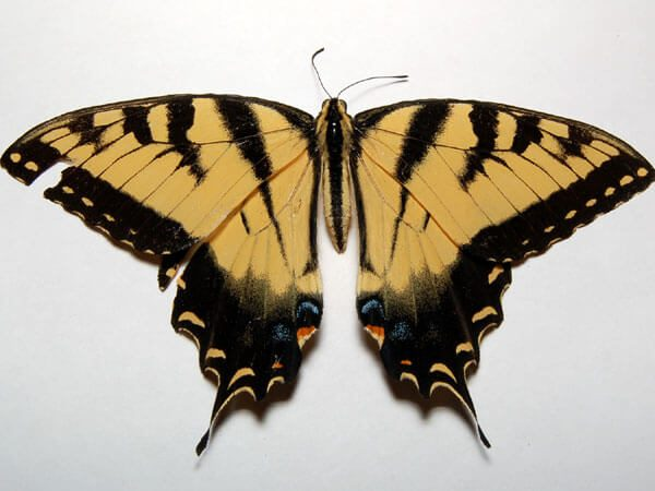An Eastern Tiger Swallowtail(Papilio glaucus) that I found in a spider web by my rodent room. Too bad this beautiful guy was already deceased.