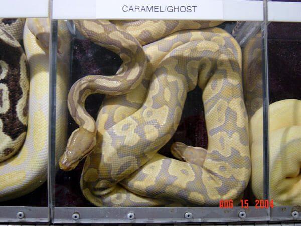 NERD's Caramel Glow(Hypomelanistic Caramel Albino).