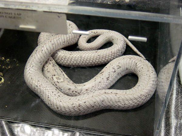Jollif's Axanthic Monacled Cobra.