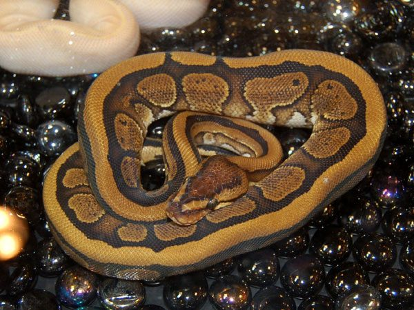 Outback Reptiles' Red Stripe.