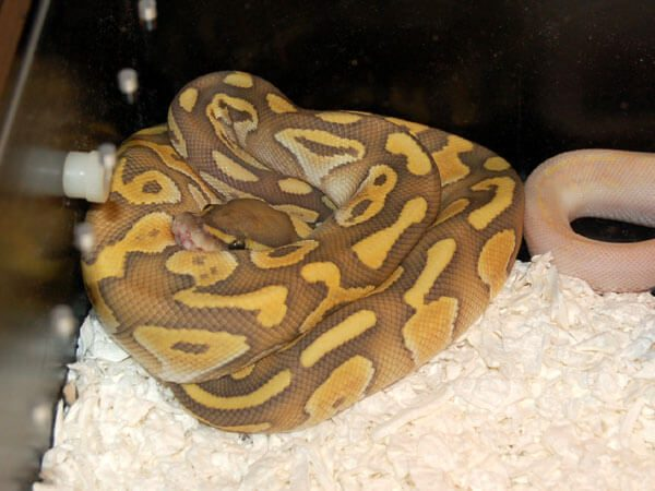 Reptile Industries' Hypomelanistic Butter.