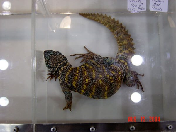 An Ornate Uromastyx.