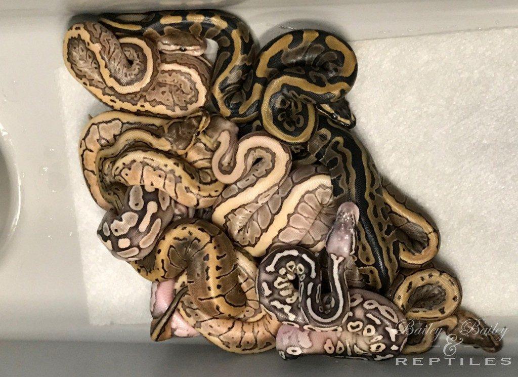 2017 Clutch #53 - Ball Python