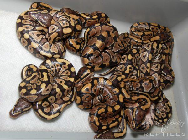 2016 Clutch #43 - Ball Python