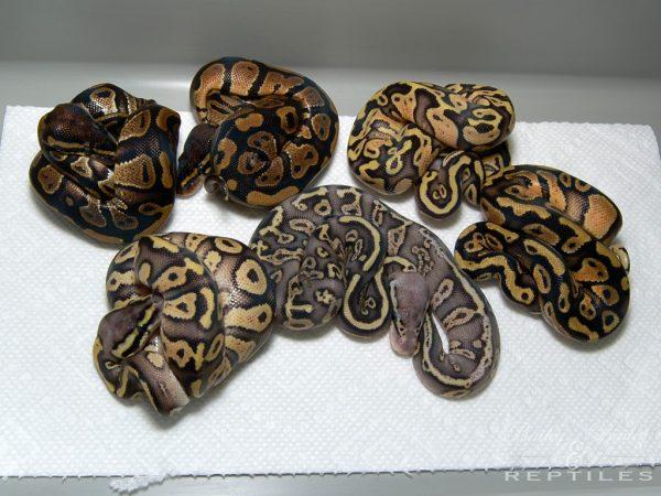 2015 Clutch #24 - Ball Python