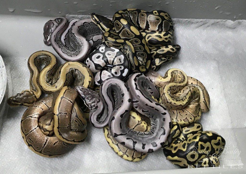 2018 Clutch #14 - Ball Python