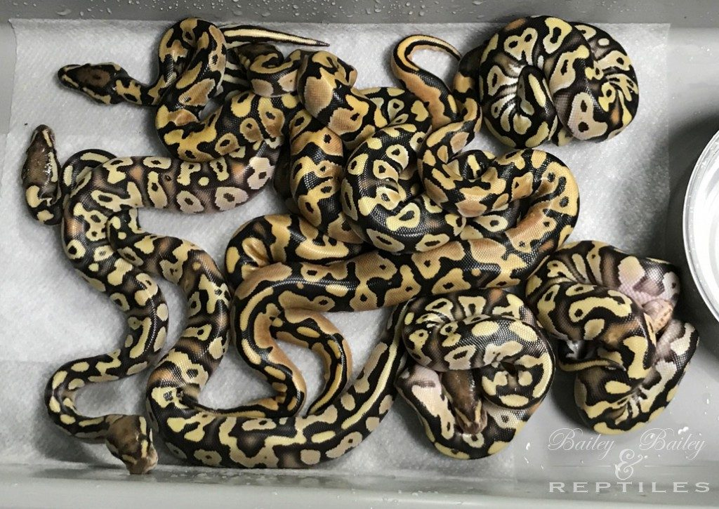 2018 Clutch #27 - Ball Python