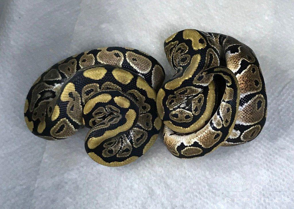 2018 Clutch #28 - Ball Python