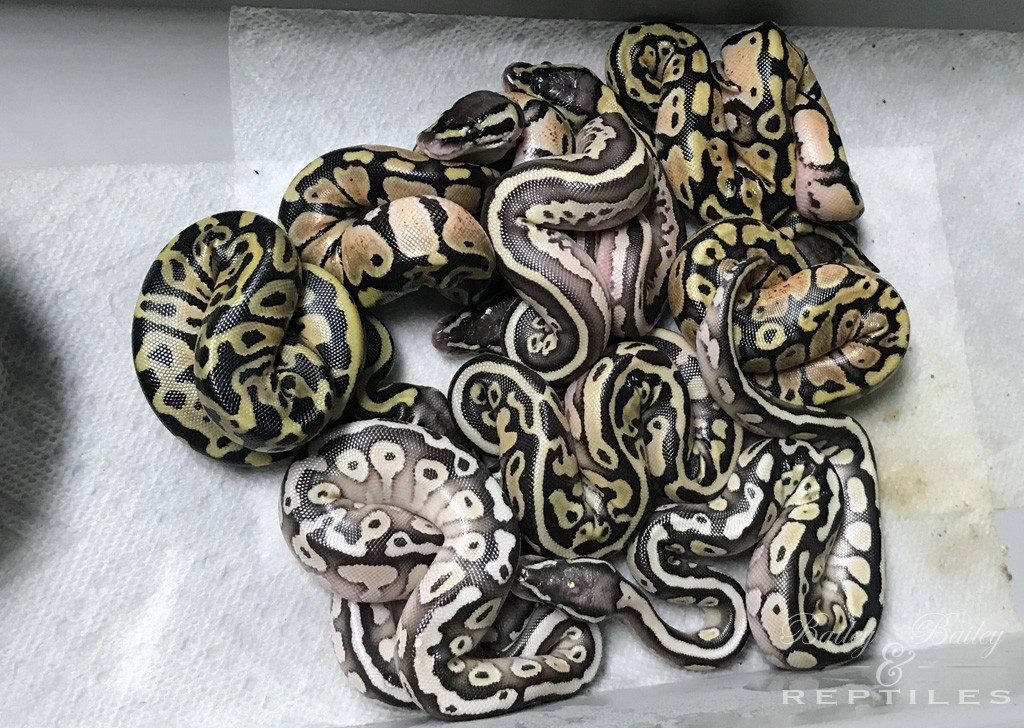 2018 Clutch #31 - Ball Python