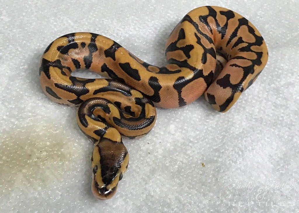 2018 Clutch #36 - Ball Python