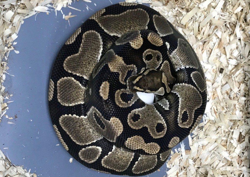 2018 Clutch #56 - Ball Python