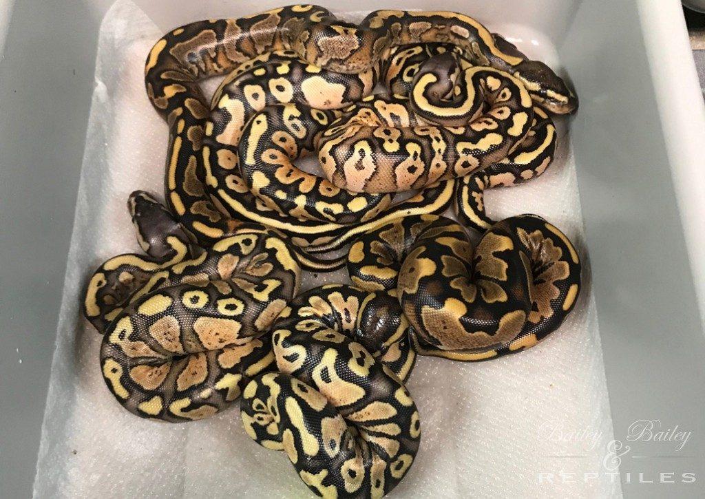 2019 Clutch #7 - Ball Python