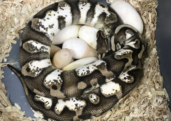 2019 Clutch #13 - Ball Python