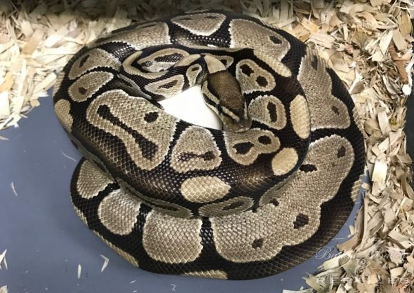 2019 Clutch #15 - Ball Python