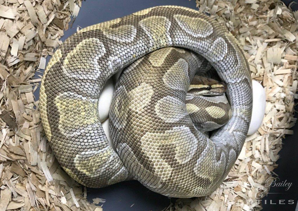 2019 Clutch #18 - Ball Python
