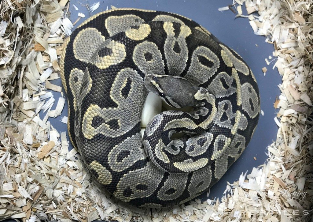 2019 Clutch #19 - Ball Python