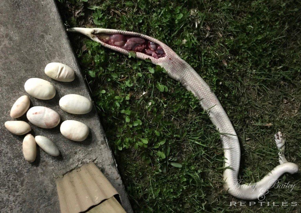 2019 Clutch #20 - Ball Python