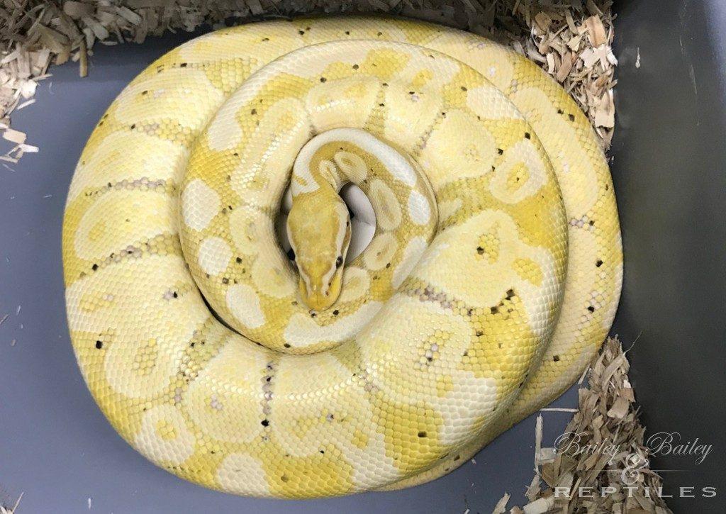 2019 Clutch #21 - Ball Python