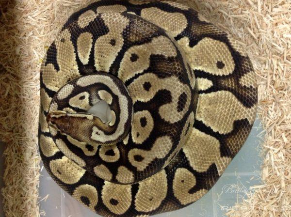 2015 Clutch #48 - Ball Python