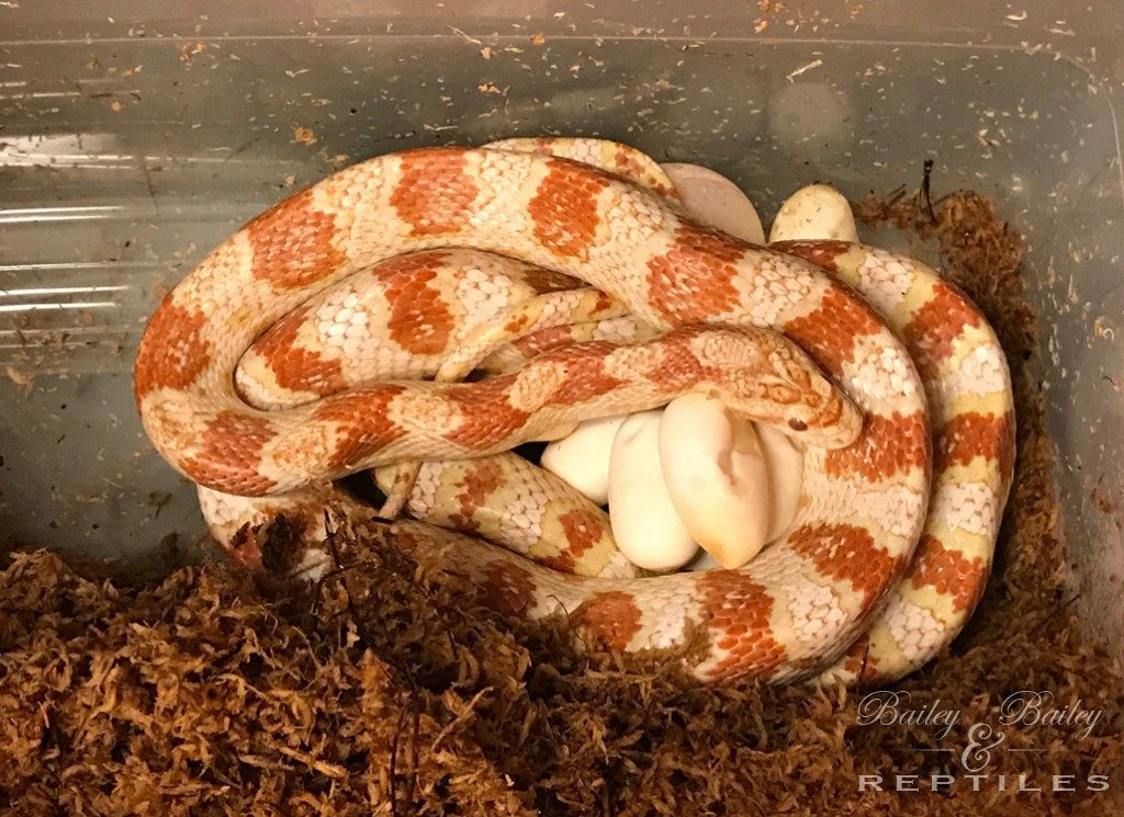 2017 Clutch #6 - Corn Snakes