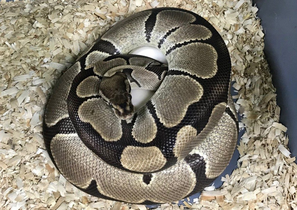 2018 Clutch #29 - Ball Python