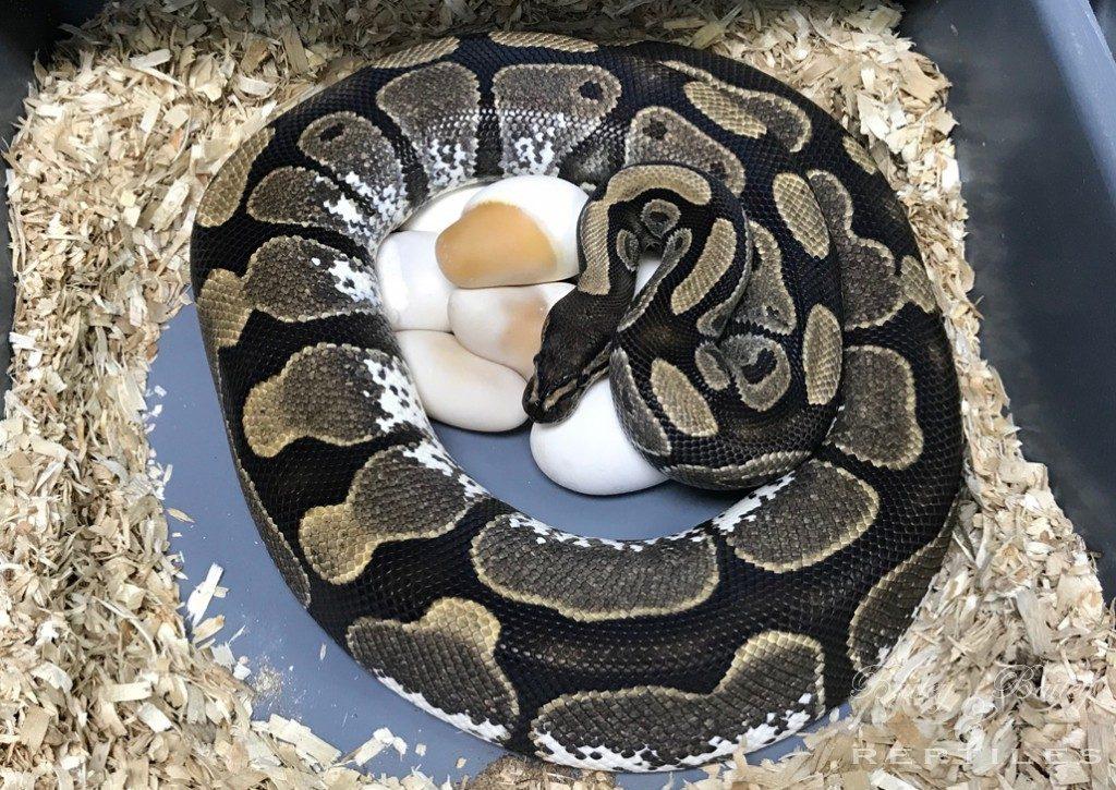 2018 Clutch #34 - Ball Python