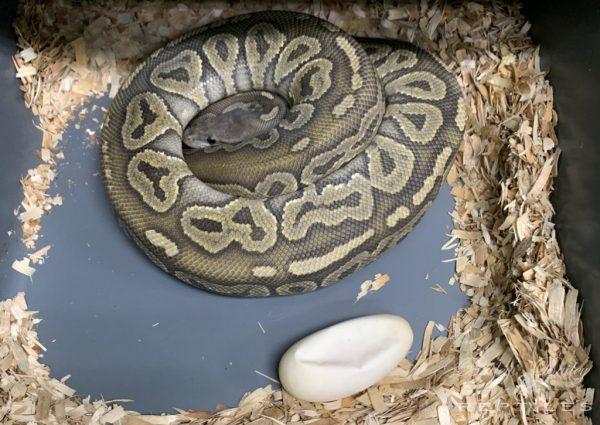2019 Clutch #16 - Ball Python