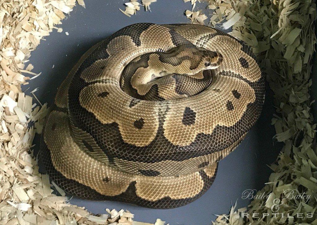 2018 Clutch #51 - Ball Python