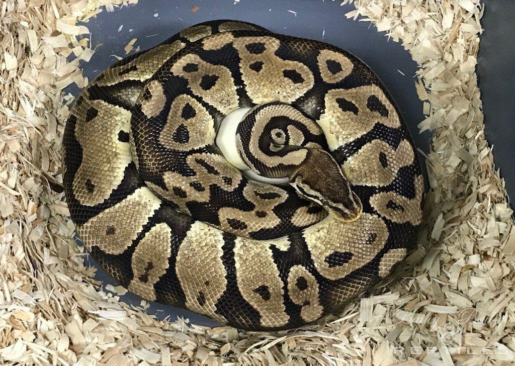 2018 Clutch #53 - Ball Python