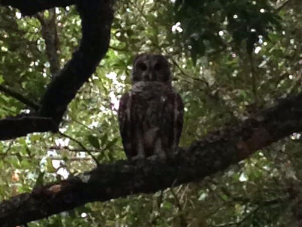 I hear these guys all the time in the evening, and occassionally see one flying through the yard near dusk. They are truly silent flyers. This is a Barred Owl (Strix varia) that I saw fly and perch in one of my live oak trees in the front yard.