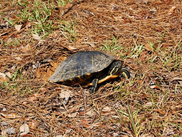 A Red-eared Slider(Trachemmys Scripta) from our pond that Monica caught in the act of laying eggs.