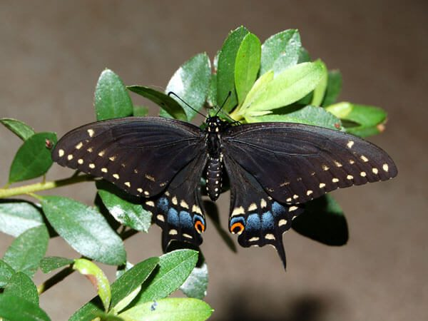 An Eastern Black Swallowtail(Papilio polyxenes asterius) that landed on our Azaleas in front of our porch.